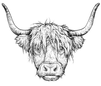 Realistic sketch of Scottish highland Cow, black and white drawing, isolated on white