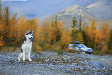 Fototapete - Dog in nature, in the forest. Siberian Husky on the background of Mountains. Kirovsk Mountains