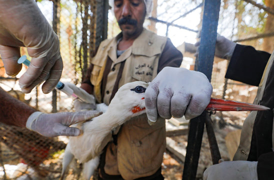 An Egyptian veterinarian administers an avian flu vaccination to a stork held by a zoo keeper at the closed Giza Zoo in Cairo
