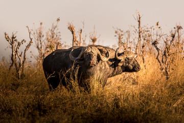 Wild buffalo in the african savannah at sunset. Botswana