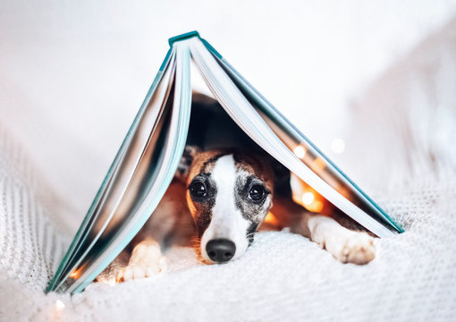 Cute little whippet puppy lying under big opened book with string lights. Beautiful background for creative design, banner, card, poster, backdrop for inspirational quote, education event invitation.