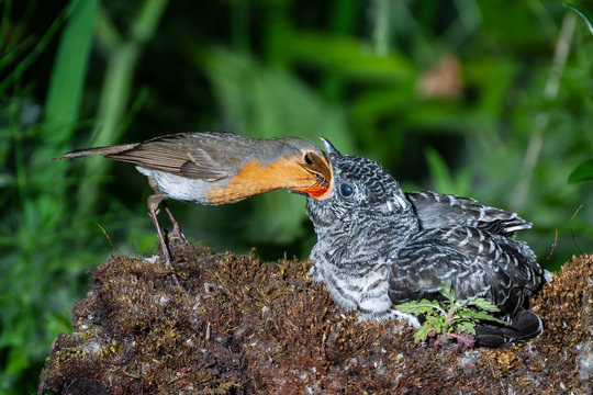 Common cuckoo, Cuculus canorus. Young man in the nest fed by his adoptive mother - Erithacus rubecula - European robin