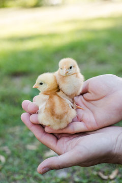 Hands Holding Two Baby Free Range Chicks Outside with Grass in the Background