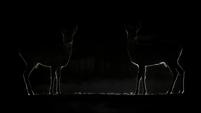2 Roe Dark