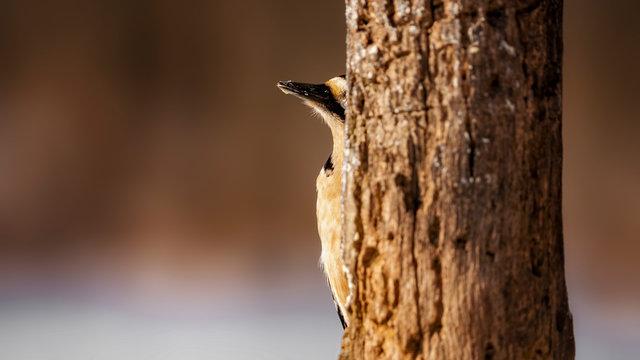 great spotted woodpecker Hide 3