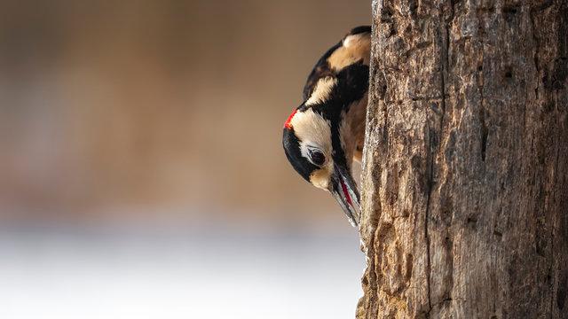 great spotted woodpecker Hide 2