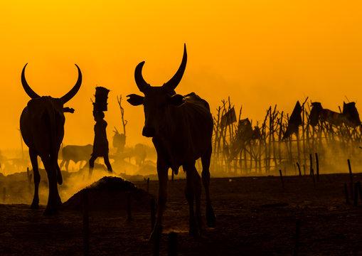 Mundari tribe long horns cows in the cattle camp at sunset, Central Equatoria, Terekeka, South Sudan