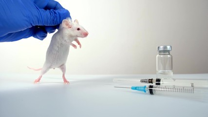 A scientist in blue gloves holding white abino lab laboratory mouse by scruff in order to conduct...