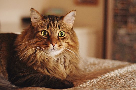 Portrait Of Maine Coon Cat Resting On Bed At Home