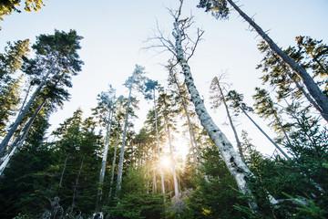 sun through trees surrounding Otter cliffs, Acadia National Park, Maine, United States, North America Fotoväggar