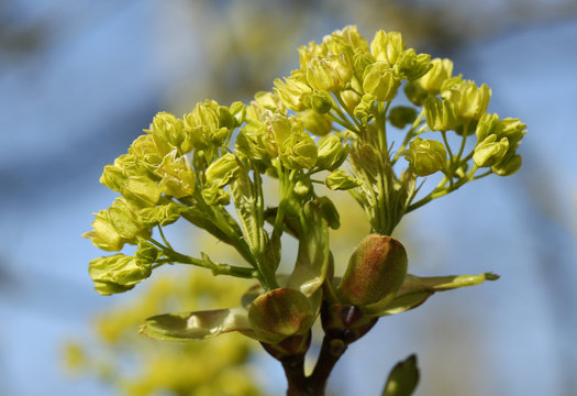 Buds opening into leaves and flowers  of a Field Maple Tree, Acer campestre, in springtime.
