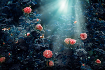 Wall Mural - Blooming pink roses flowers in fabulous night mystical garden on mysterious fairy tale spring or summer floral background with moon light and rays, fantasy amazing nature dreamy landscape