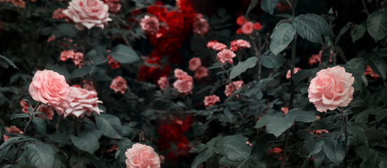 Blooming pink and red roses flowers in mystical garden on mysterious fairy tale spring or summer floral background, fantasy nature dreamy evening landscape toned in low key, dark tones and shades