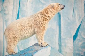 Printed roller blinds Polar bear polar bear in Novosibirsk zoo