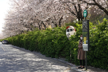A woman wearing a mask to prevent contracting the coronavirus waits for a bus under cherry blossom trees at a stop in Seoul