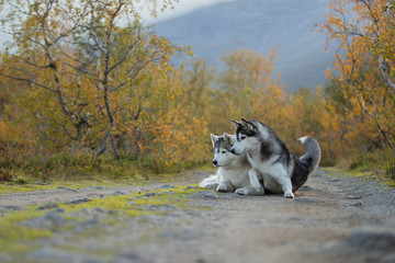 Fototapete - Beautiful dog in a Beautiful mountain landscape. Siberian Husky on the background of mountains