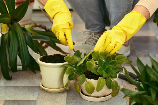 Gardeners hand in yellow gloves transplanting plant into a new pot. woman taking care of home plants. Home gardening.