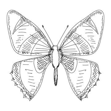 butterfly sketch, contour with lines