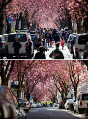 Heerstrasse, Cherry Blossom Avenue, during the outbreak of the coronavirus disease (COVID-19) in Bonn