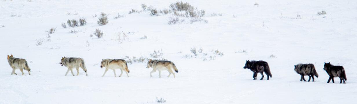 Gray Wolf wapitti pack taken in yellowstone NP