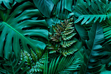 Fotomurales - closeup nature view of green monstera leaf and palms background. Flat lay, dark nature concept, tropical leaf