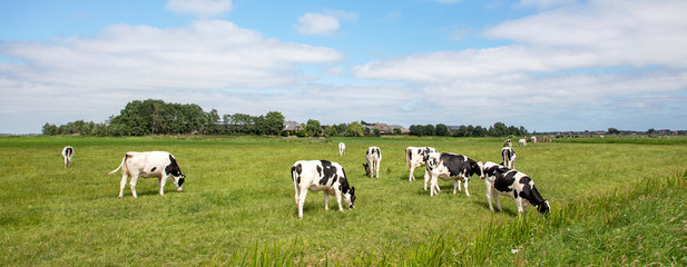 Photo sur Aluminium Vache Herd of cows grazing in the pasture, peaceful and sunny in Dutch landscape of flat land with a blue sky with clouds on the horizon, wide view