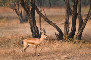 Young Indian bennetti gazelle or chinkara walking and grazing in the forest of Rathnambore National Park. Tourism elecogy environment background. Rajasthan, India Wall mural