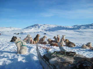 Sledge dogs resting in snow, Greenland