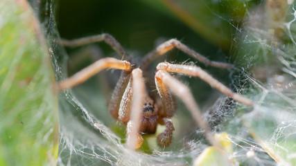 pająk macro