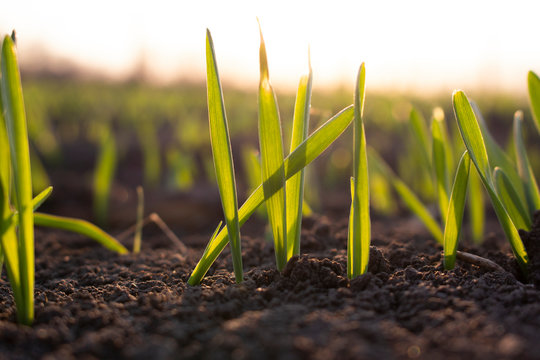 Germinated sprouts of sprouting grain in the field, farming and growing wheat.