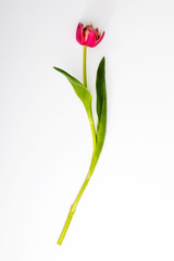 Foto auf Gartenposter Tulpen The red tulp is isolated on white background,