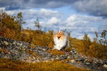 Fototapete - Portrait of a beautiful dog in a beautiful landscape. Scottish shepherd on a beautiful background