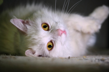 white cat with yellow eyes close-up Wall mural