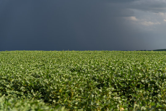 Rain falling on a soybean plantation in the stage of grain filling