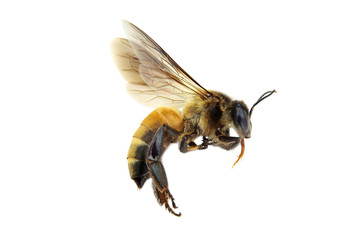 Wall Murals Bee Golden honeybee or bee isolated on the white background