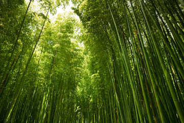 Canvas Prints Bamboo green bamboo forest