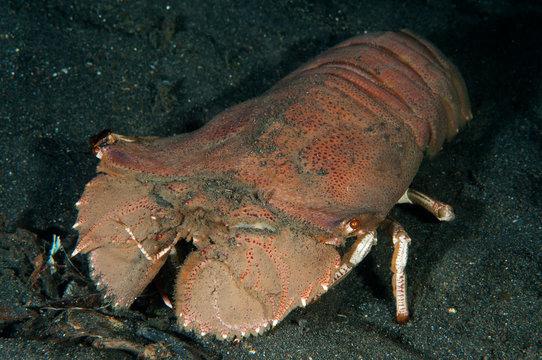 Slipper Lobster, Thenus orientalis, Lembeh Strait, Sulawesi, Indonesia