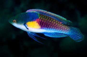 pesce tropicale