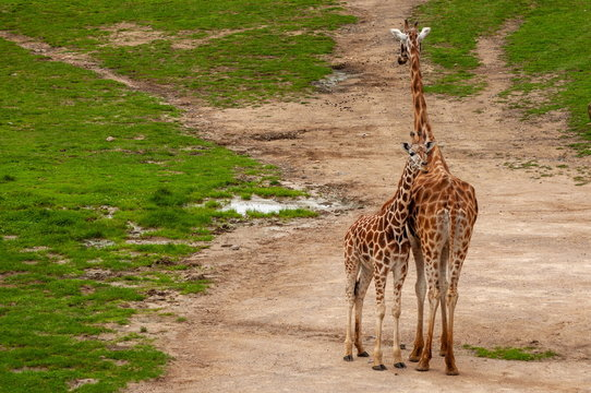 Giraffes are adult and small. The zoo passes on the care and attention of animals about its offspring.