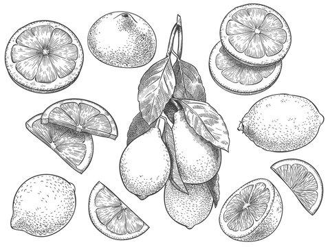 Sketch lemon. Hand drawn sliced lemons, citrus fruit with leaves and half lemon vector illustration set. Lemon citrus half, fresh botanical fruit