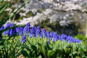 ムスカリ、花、植物、春、紫色 Wall mural