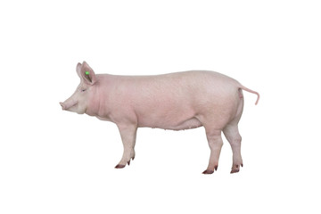 big pig vaccination isolated on white background Papier Peint