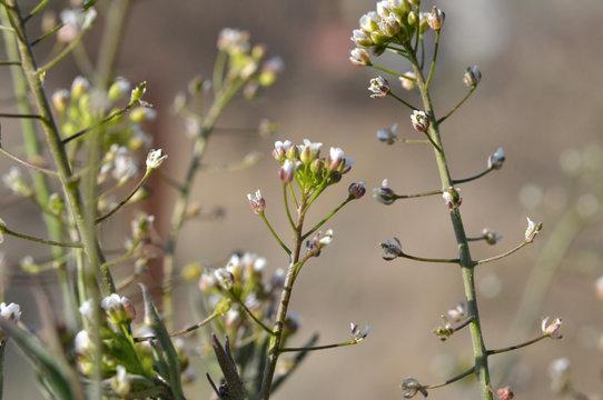 Capsella bursa-pastoris blooms in nature