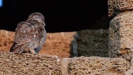 Fototapete - Two little owls sit on a natural rock. (Athene noctua)