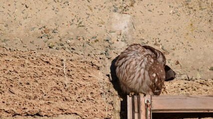 Fototapete - An little owl sits on an old wooden window against the wall.. (Athene noctua)