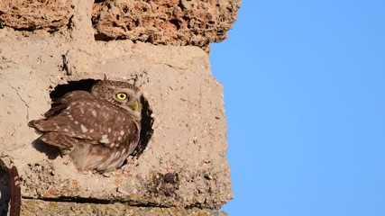 Fototapete - The little owl crawls into a hole in the concrete floor.. (Athene noctua)