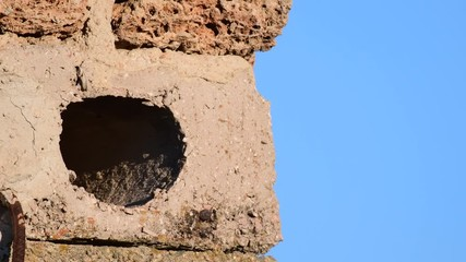 Fototapete - The little owl flies out of the hole and comes back with food in its beak.. (Athene noctua)