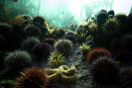 anemone, starfish, and urchins on the seafloor in a kelp forest