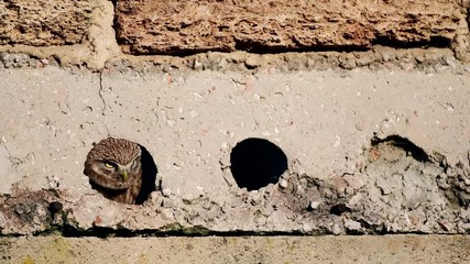 Fototapete - Two little owls look out of a hole in the concrete floor. (Athene noctua)