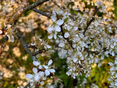 Wildkirschblüten (Prunus avium)  im Frühling in der Schweiz